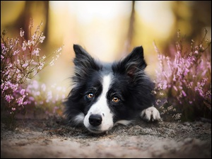 Border collie, Wrzosy