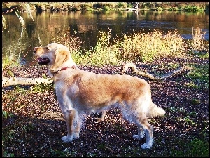 Rzeka, Golden Retriever