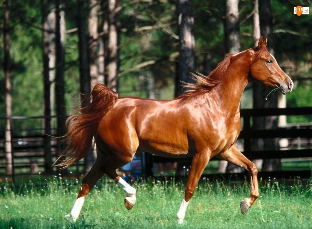 Koń, Gniady
