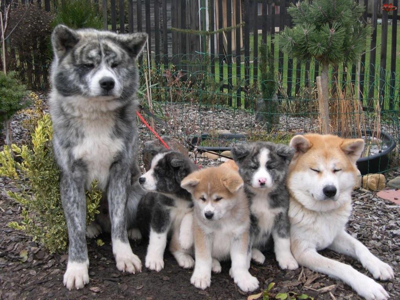 Akita, Rodzinka, Szczęśliwa, Psia