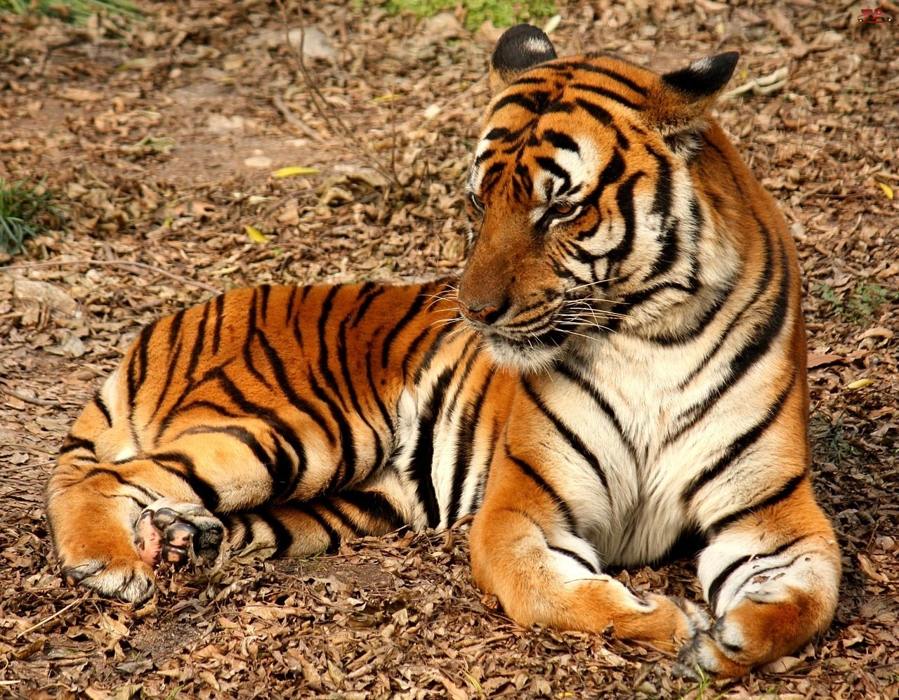 lion and tiger hybrid animals