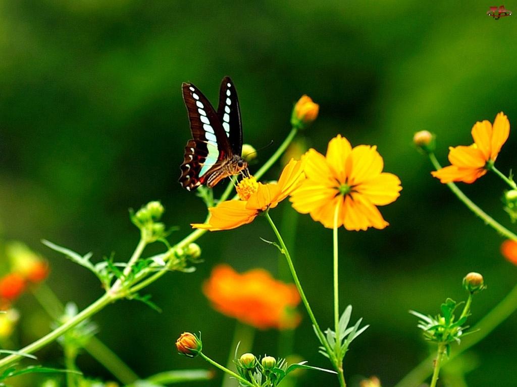 Motyl, Żółte, Kwiatki