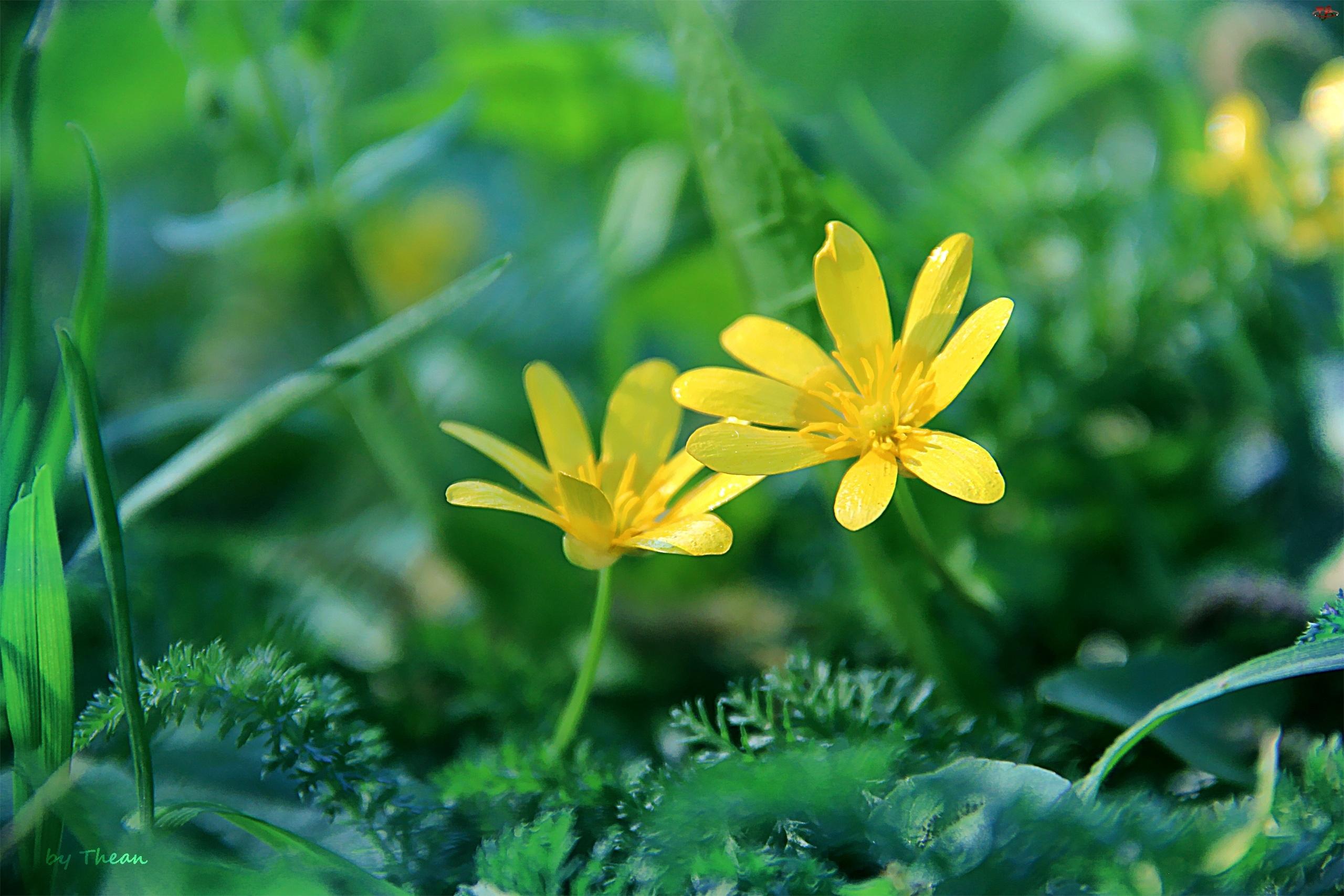 Kwiaty, Żółte, Wiosenne