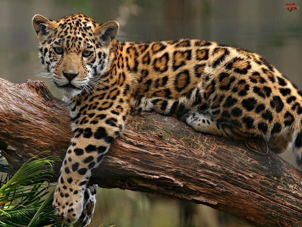 Most Common Panther Big Cats