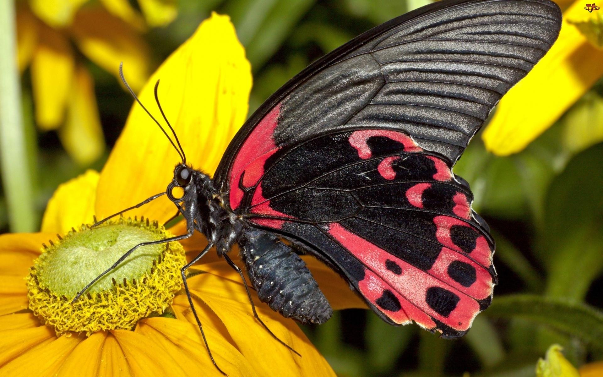 Czerwono, Kwiat, Czarny, Motyl