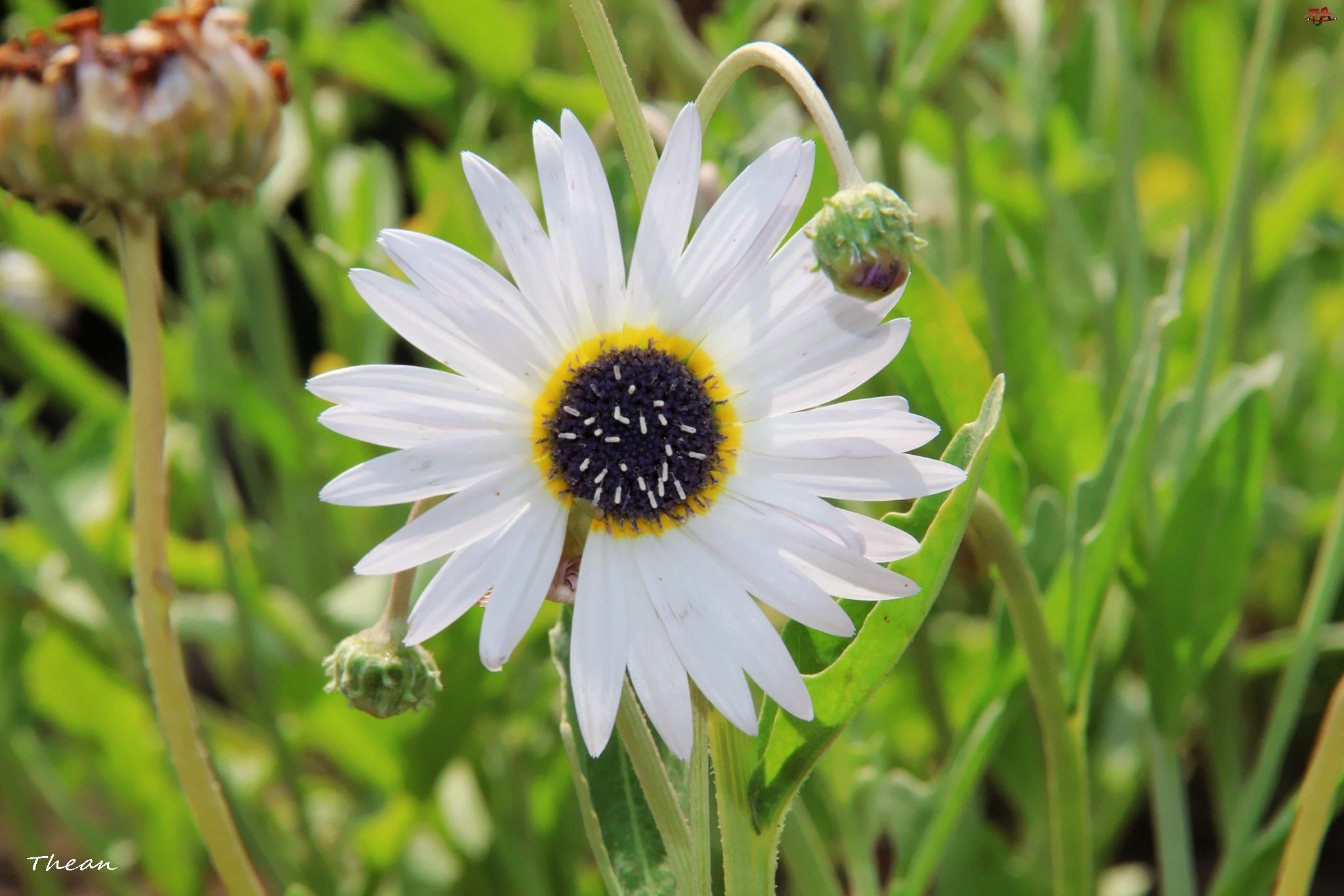 Arktotis, Kwiat