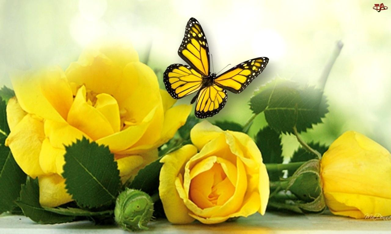 Róże, Motyl, Żółte, Liście