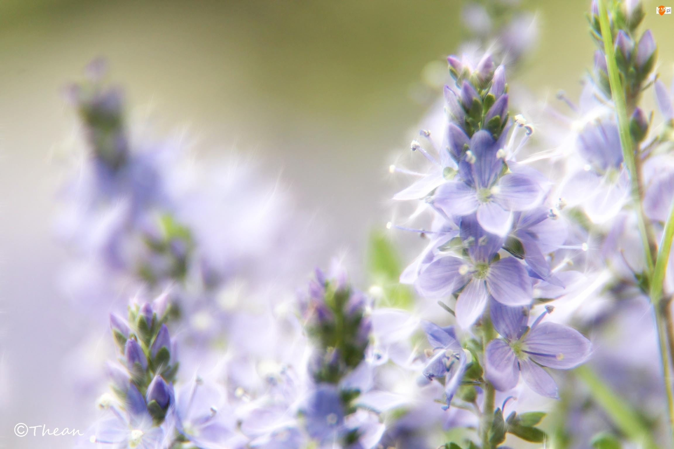 Fractalius, Fioletowe, Kwiaty