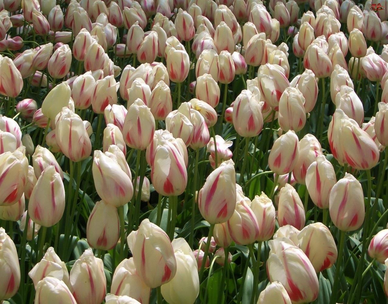 Kwiaty, Tulipany