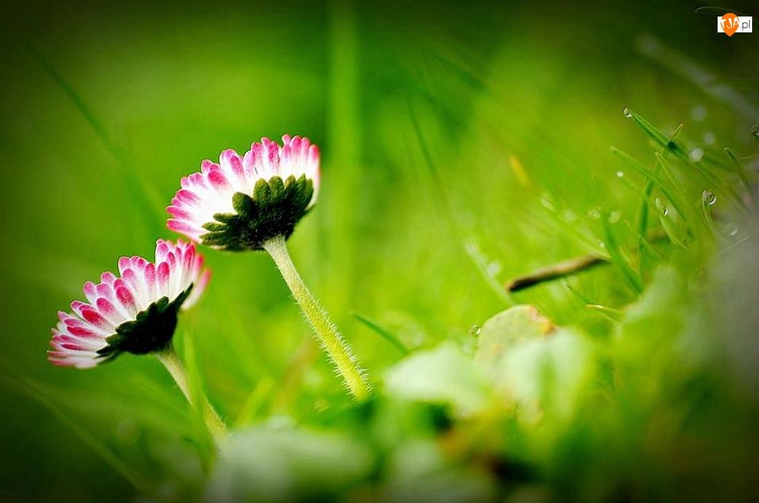 Trawy, Kwiaty, Stokrotki