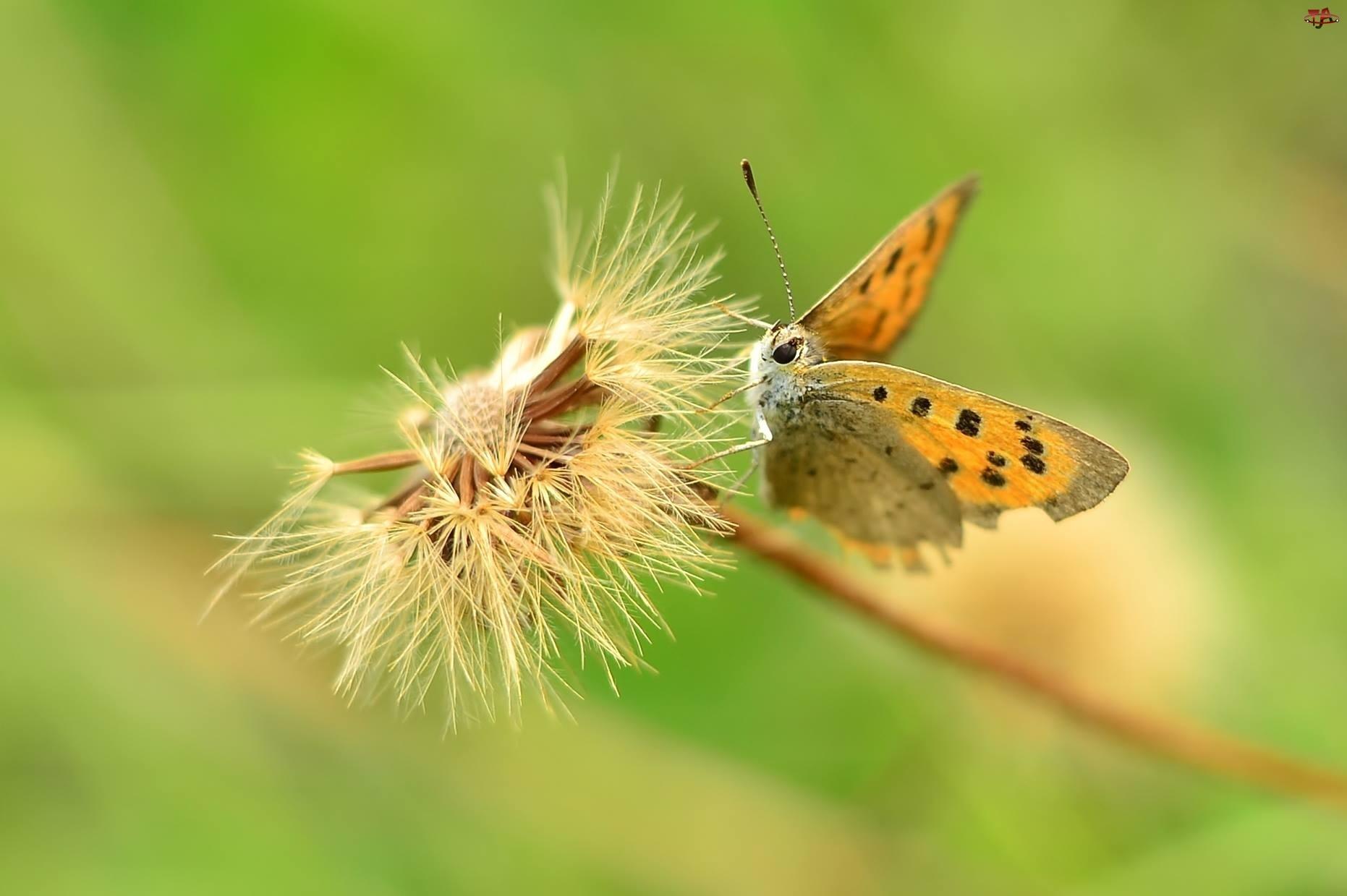 Motyl, Mniszek Pospolity