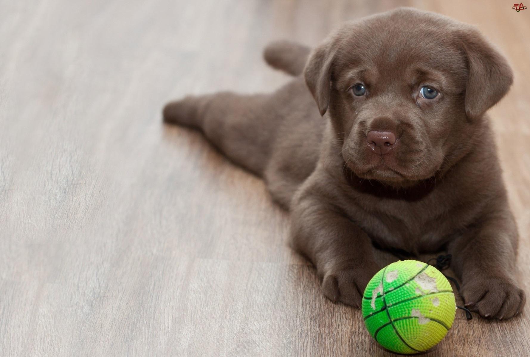 Pies, Słodkie, Piłka, Szczeniak