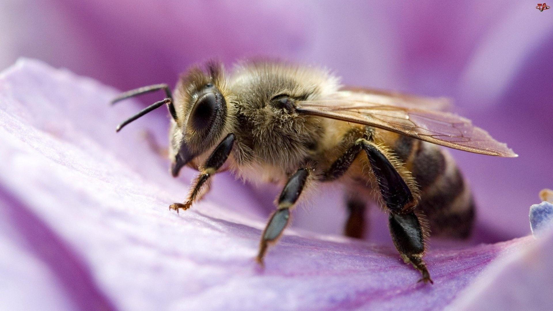Kwiatu, Pszczoła, Płatek