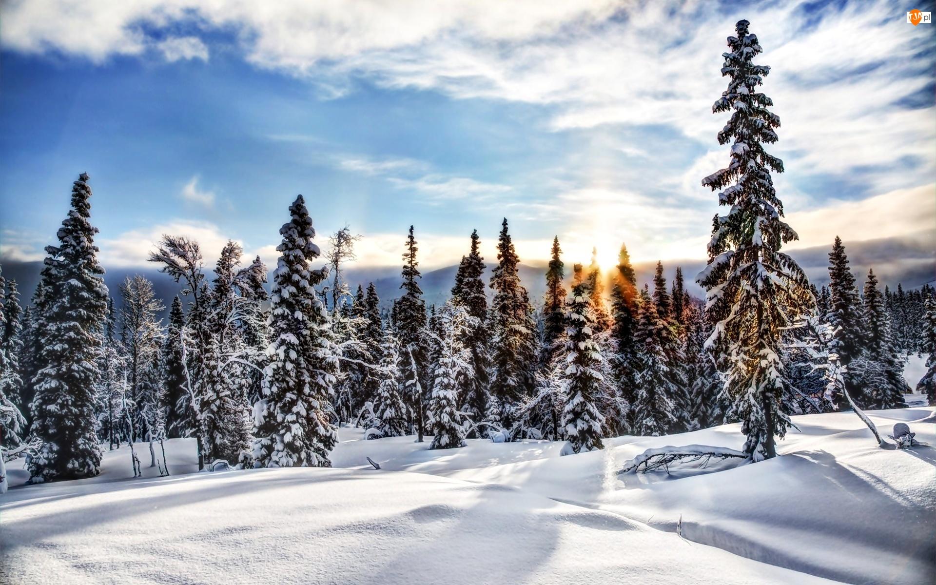 Świerki, Zima, Las, Śnieg, Słońce