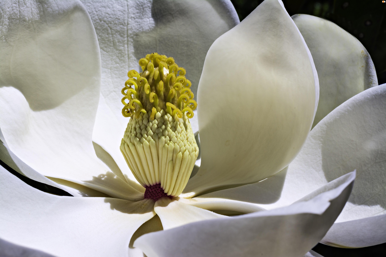 Magnolia, Makro, Biały, Kwiat