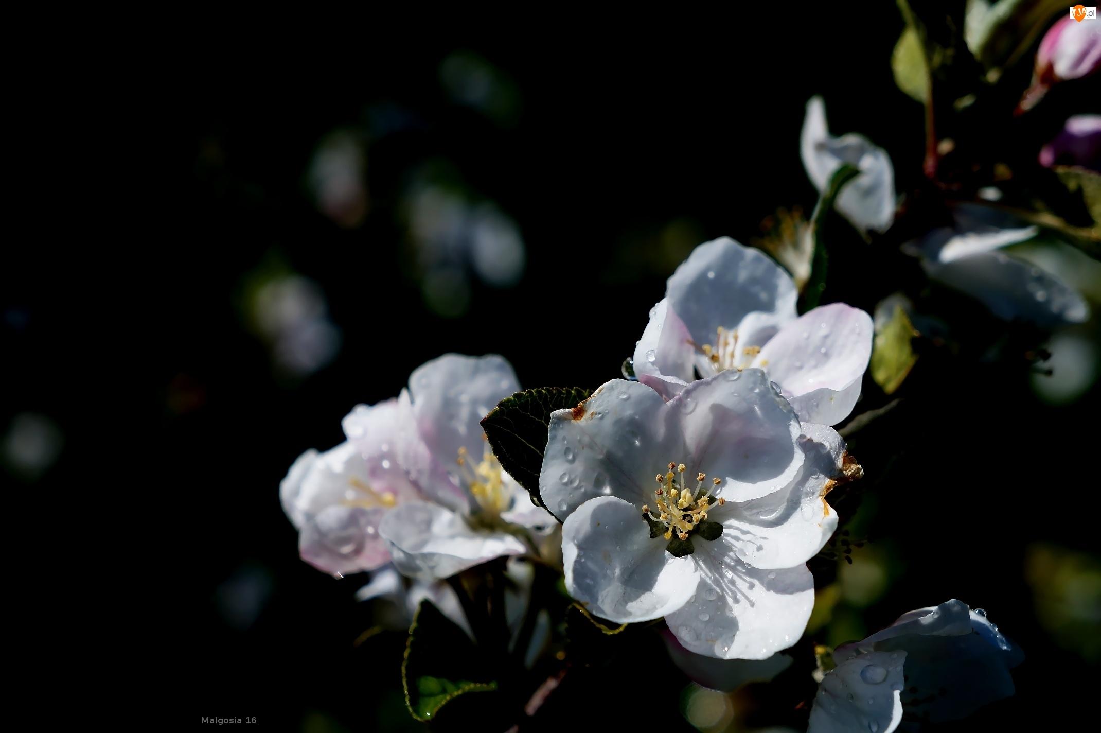 Owocowe, Kwiaty, Drzewo