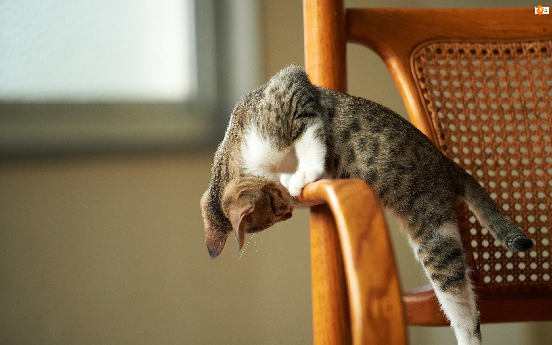 Kot, Krzesło