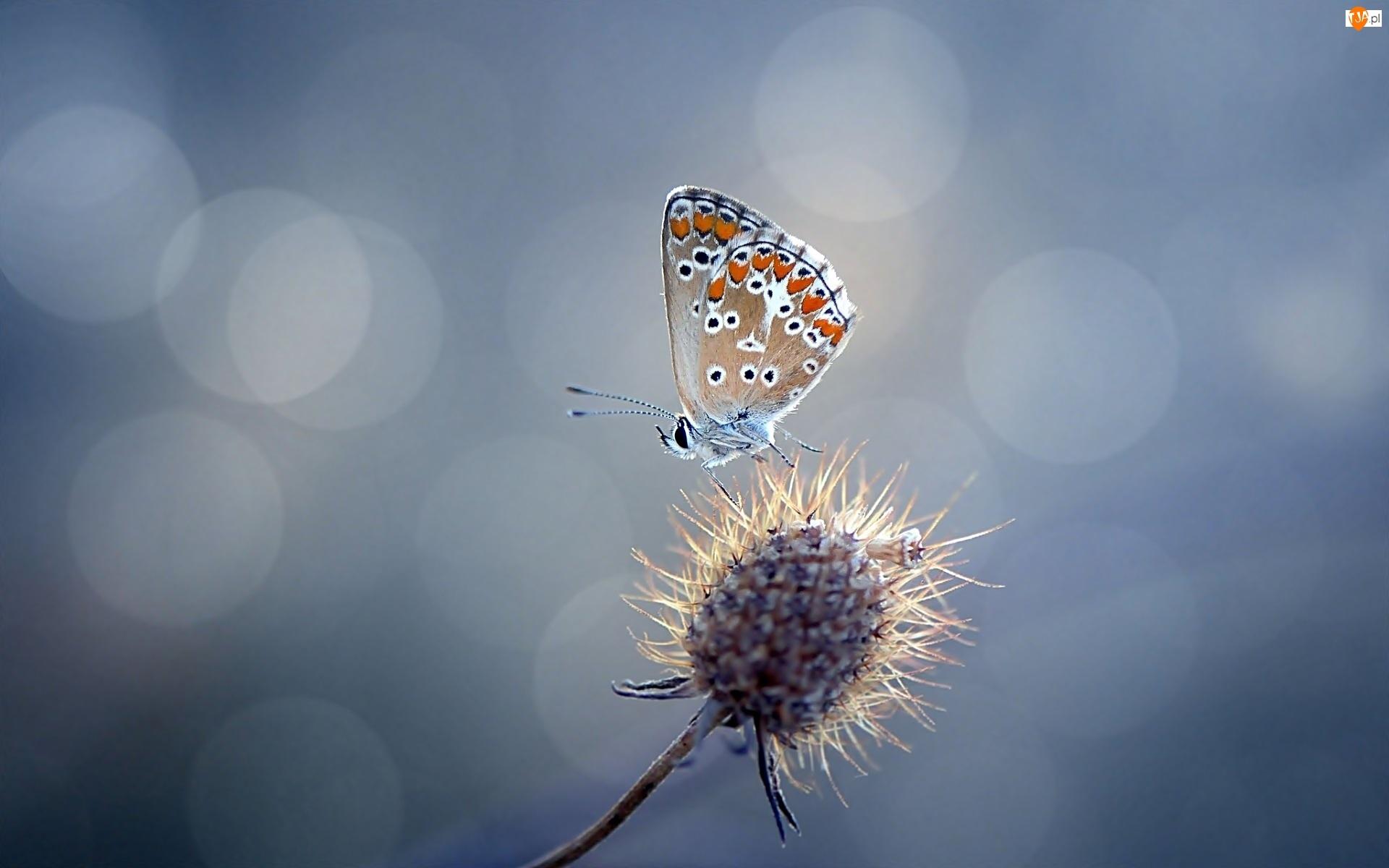 Motyl, Suchy Kwiat