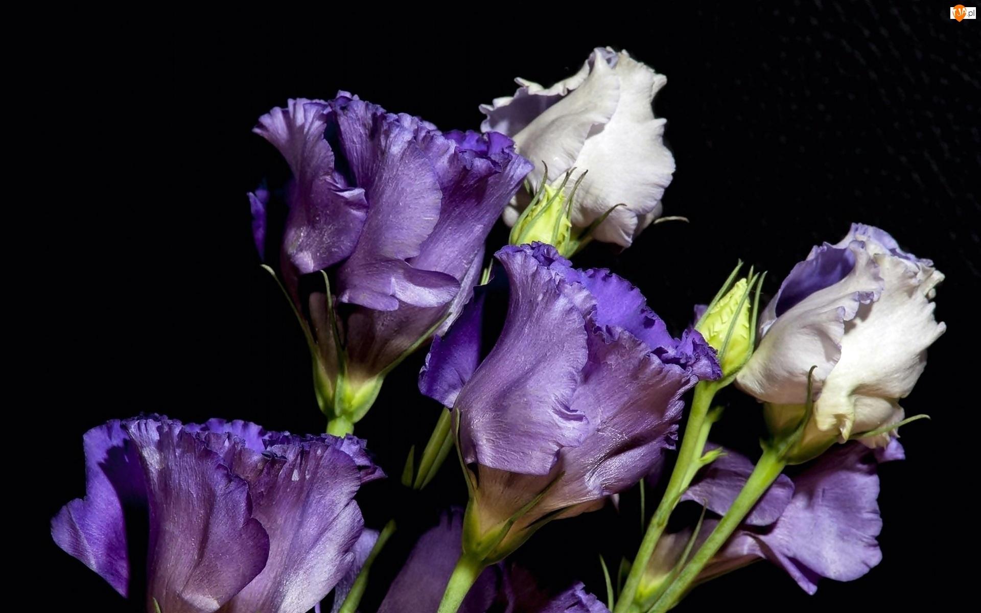 обои для рабочего стола эустома цветы № 634134 загрузить