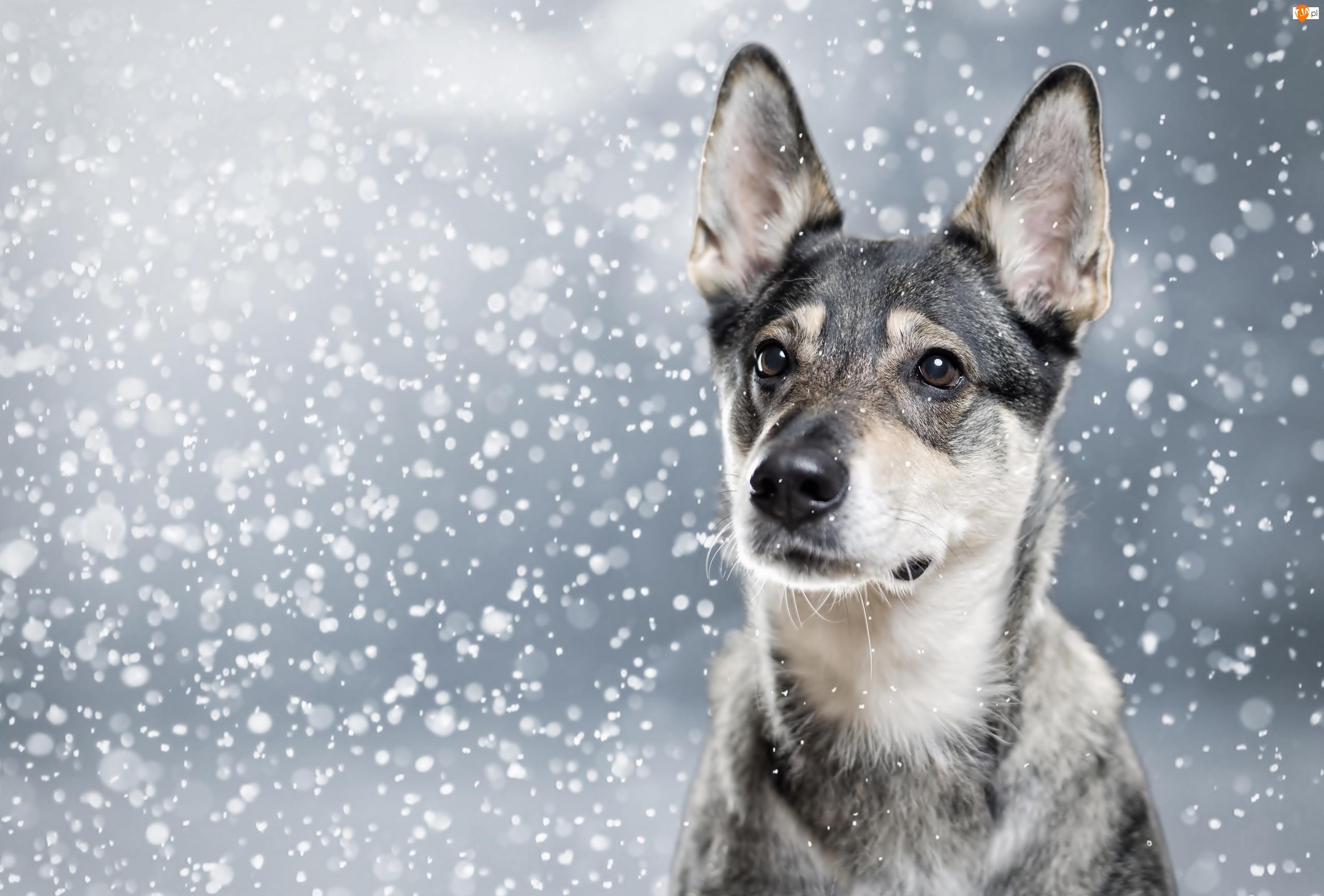 Śnieg, Pies, Padający