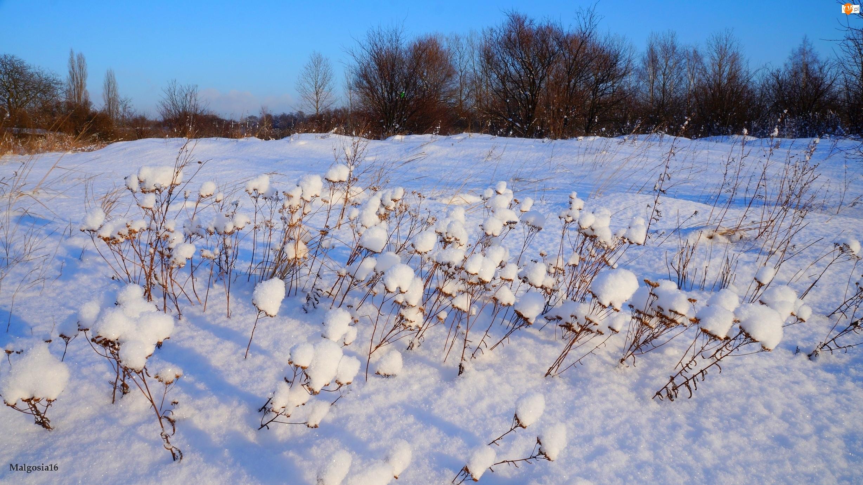 Zima, Rośliny, Śnieg, Uschnięte