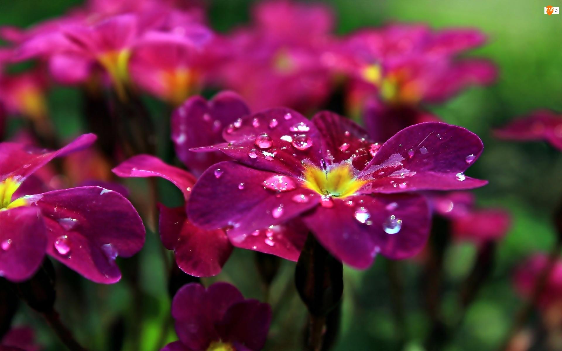 Krople, Różowe, Kwiaty