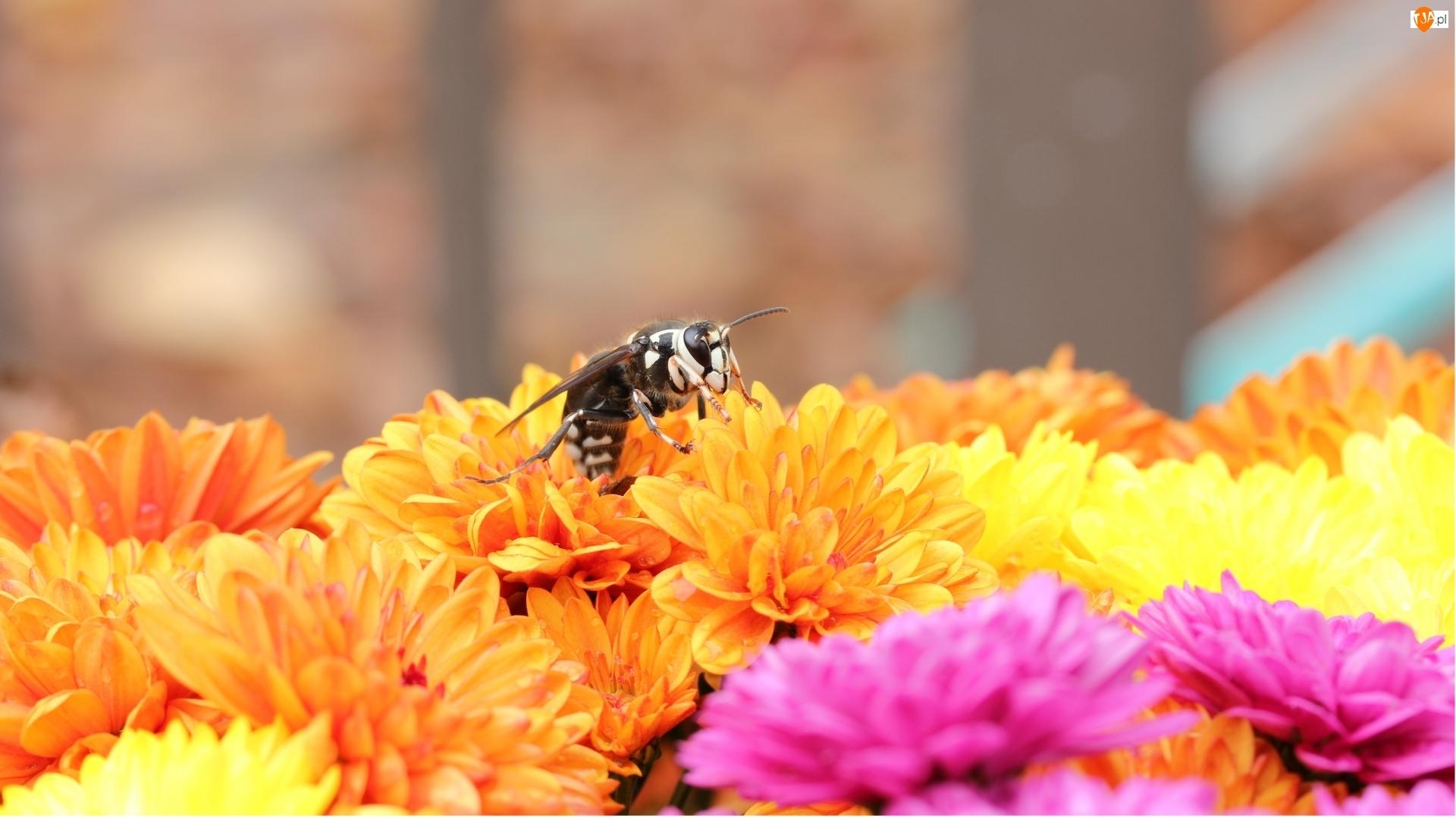 Chryzantemy, Pszczoła