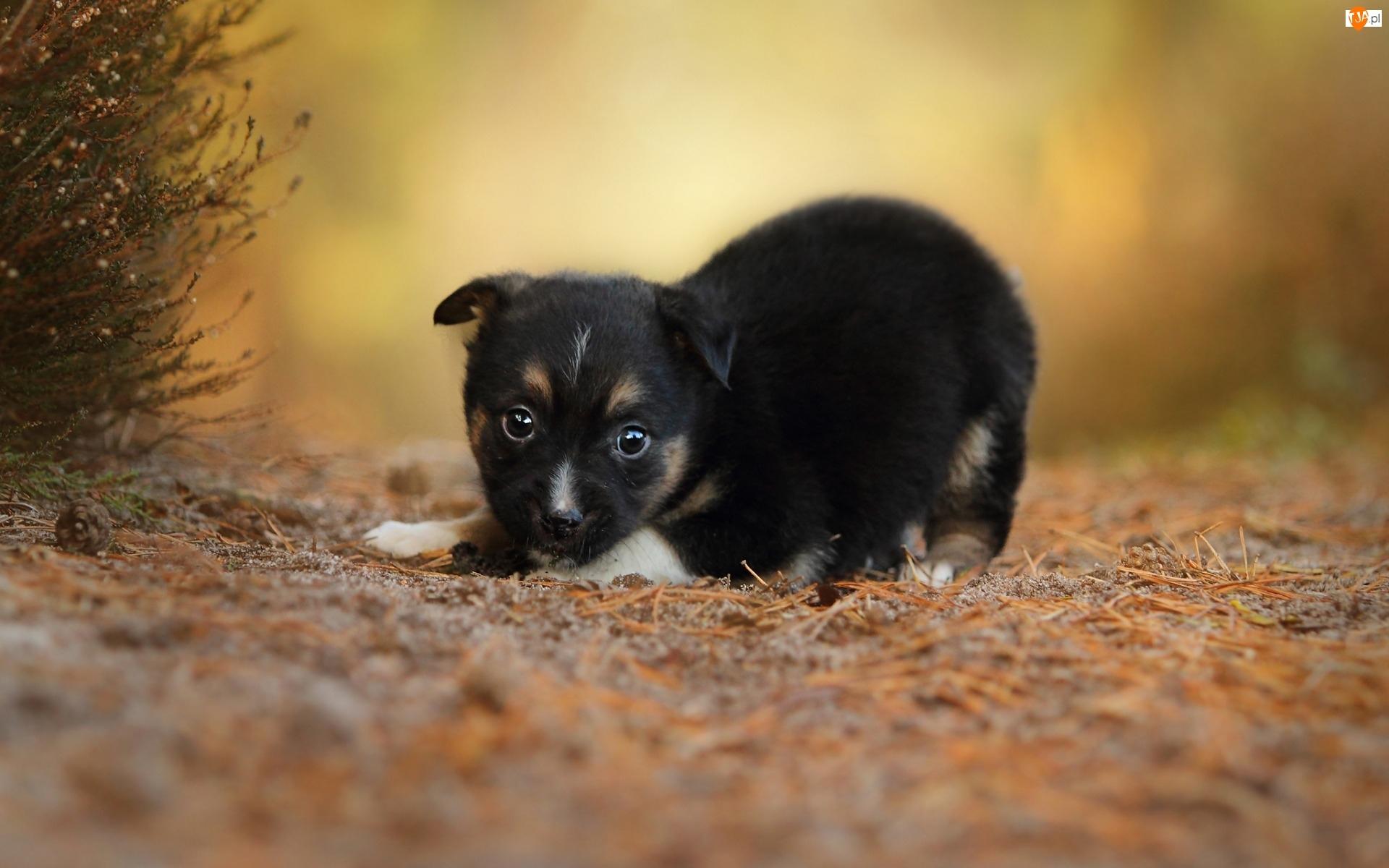 Szczeniak, Słodki, Pies