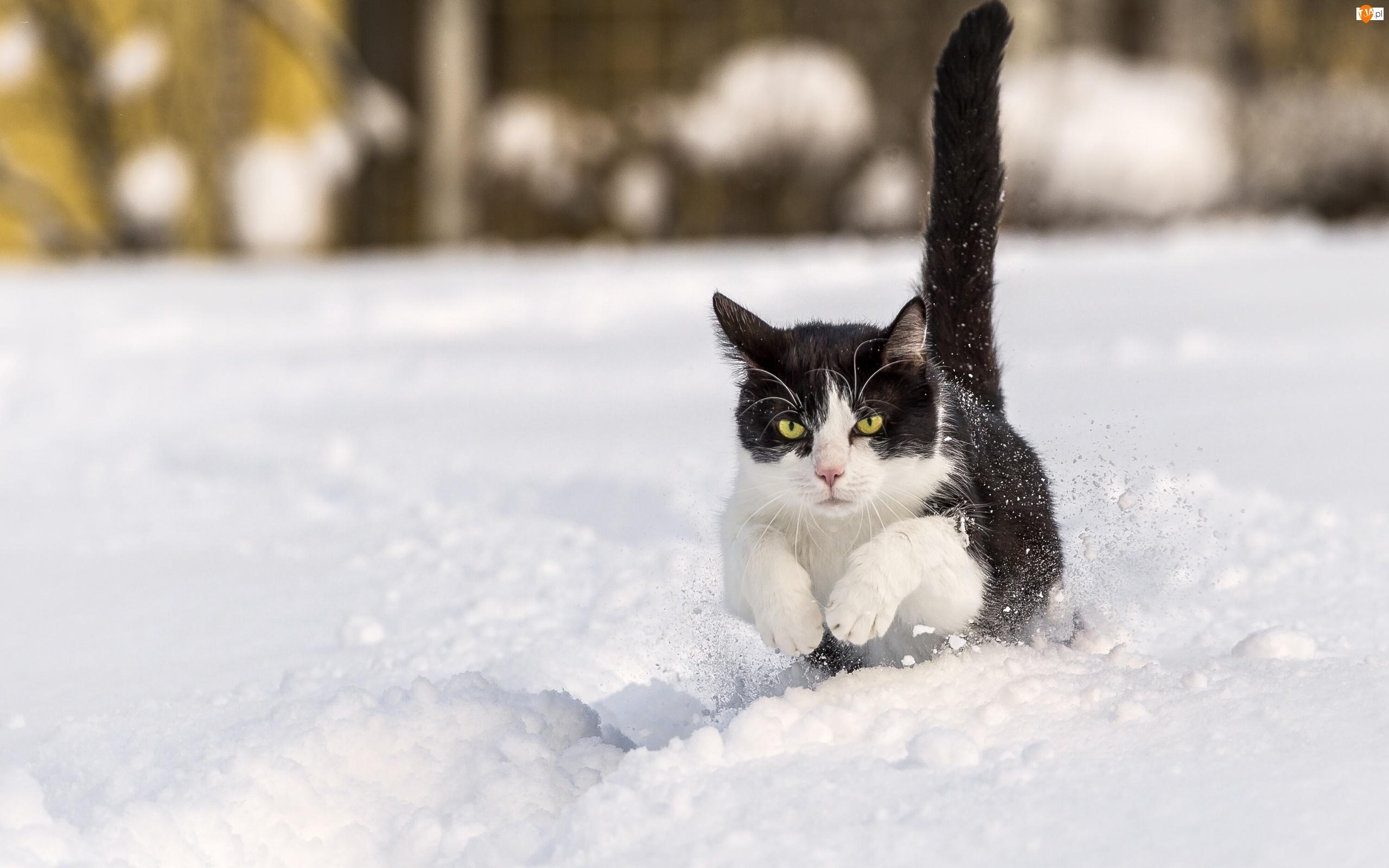 Śnieg, Kot, Czarno-biały