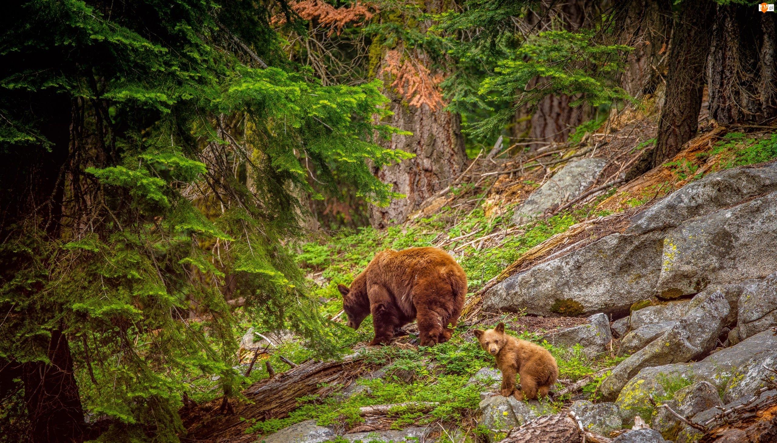 Niedźwiedzie, Las, Skały, Drzewa, Kamienie
