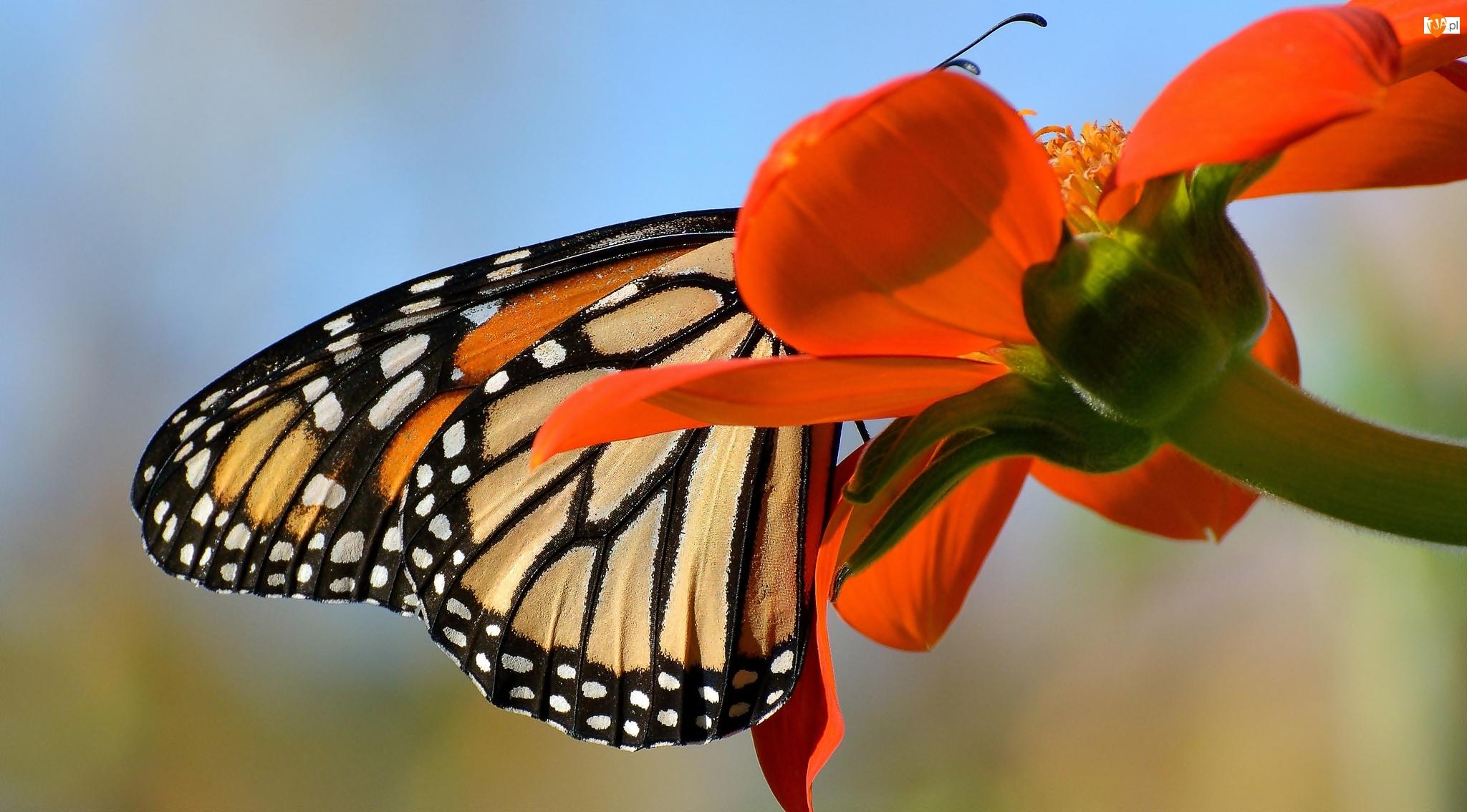 Kwiat, Motyl monarch, Czerwony