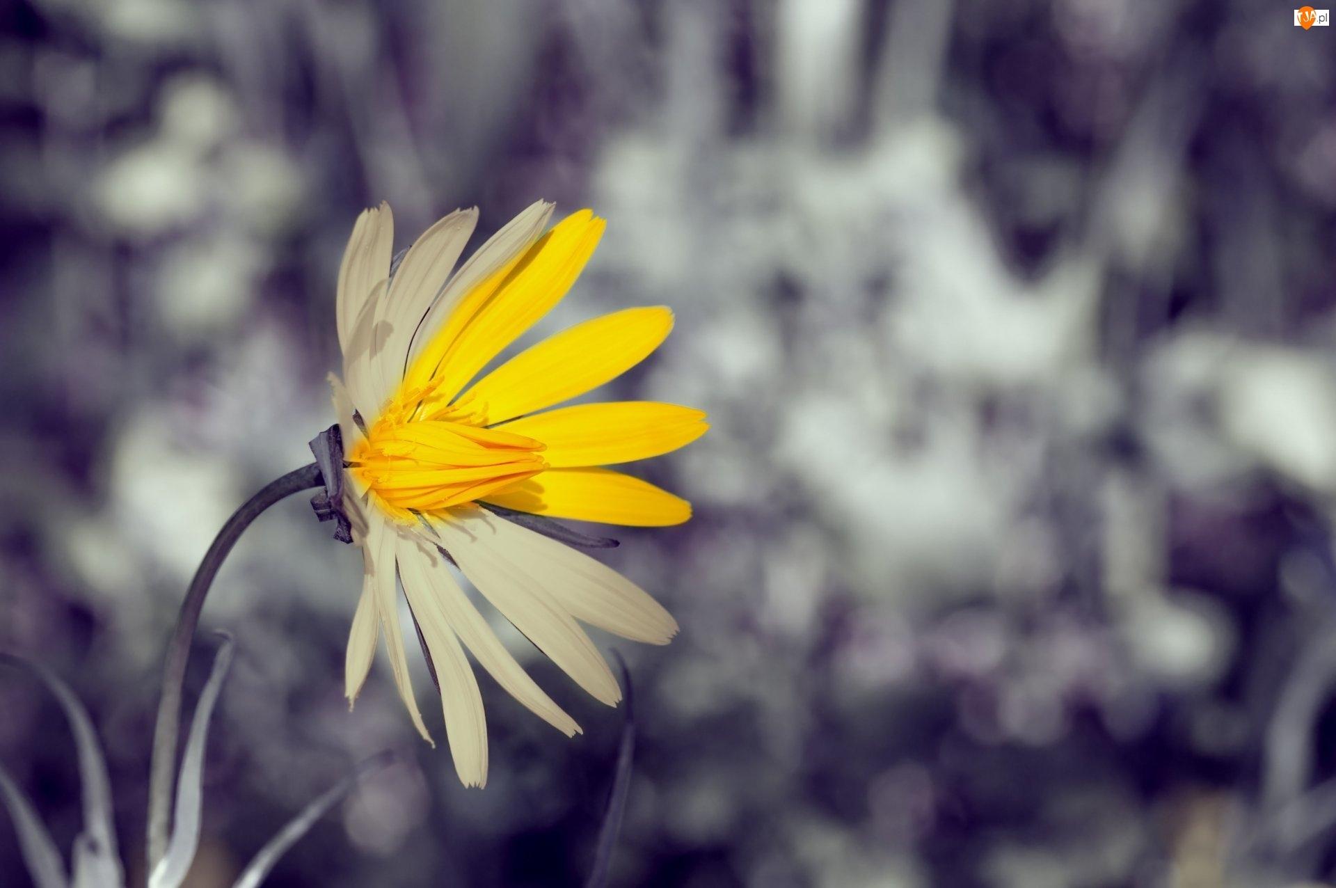 Rozmyte Tło, Żółty, Kwiat