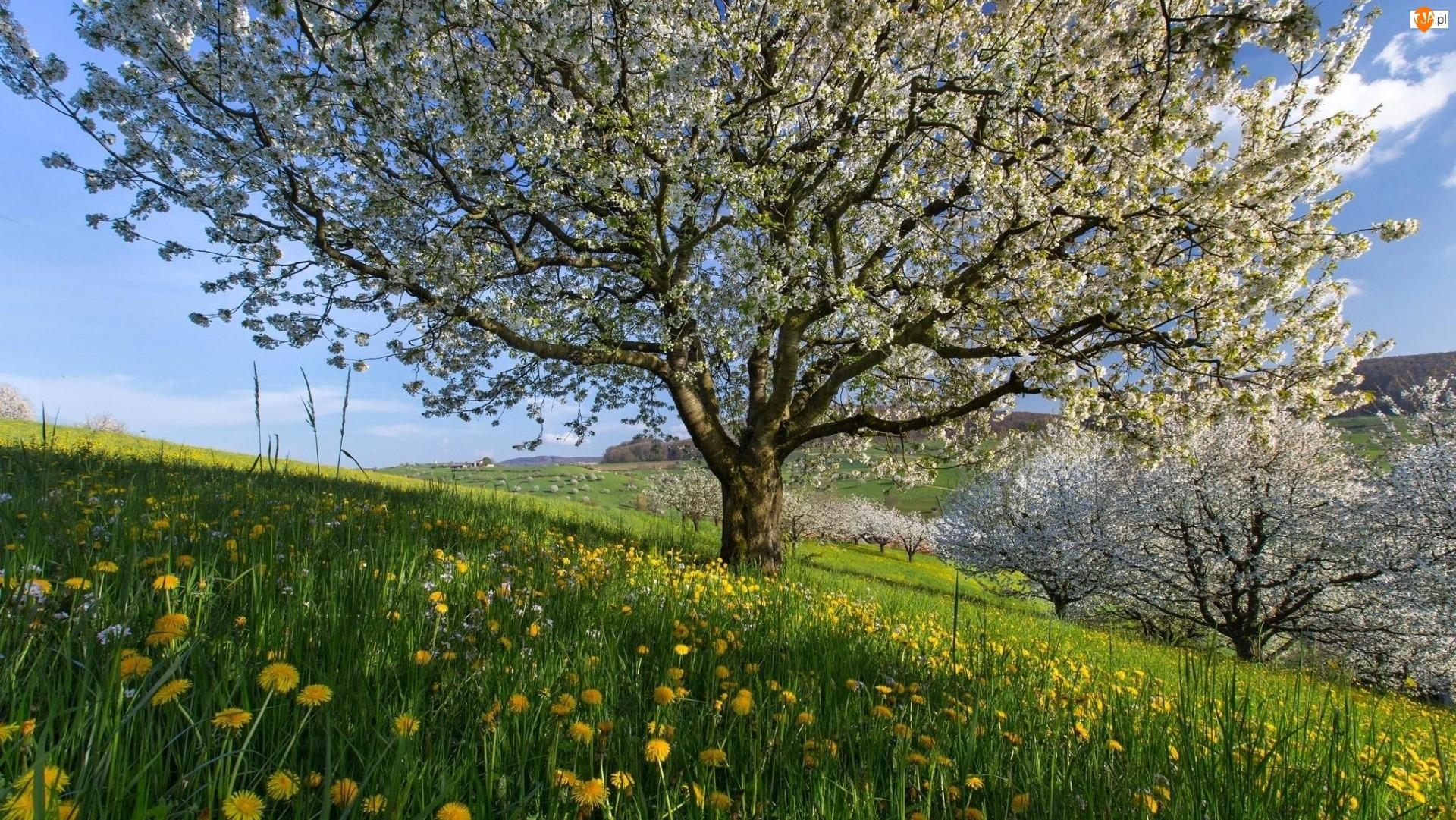 Drzewa, Łąka, Mniszek, Kwiaty, Okwiecone