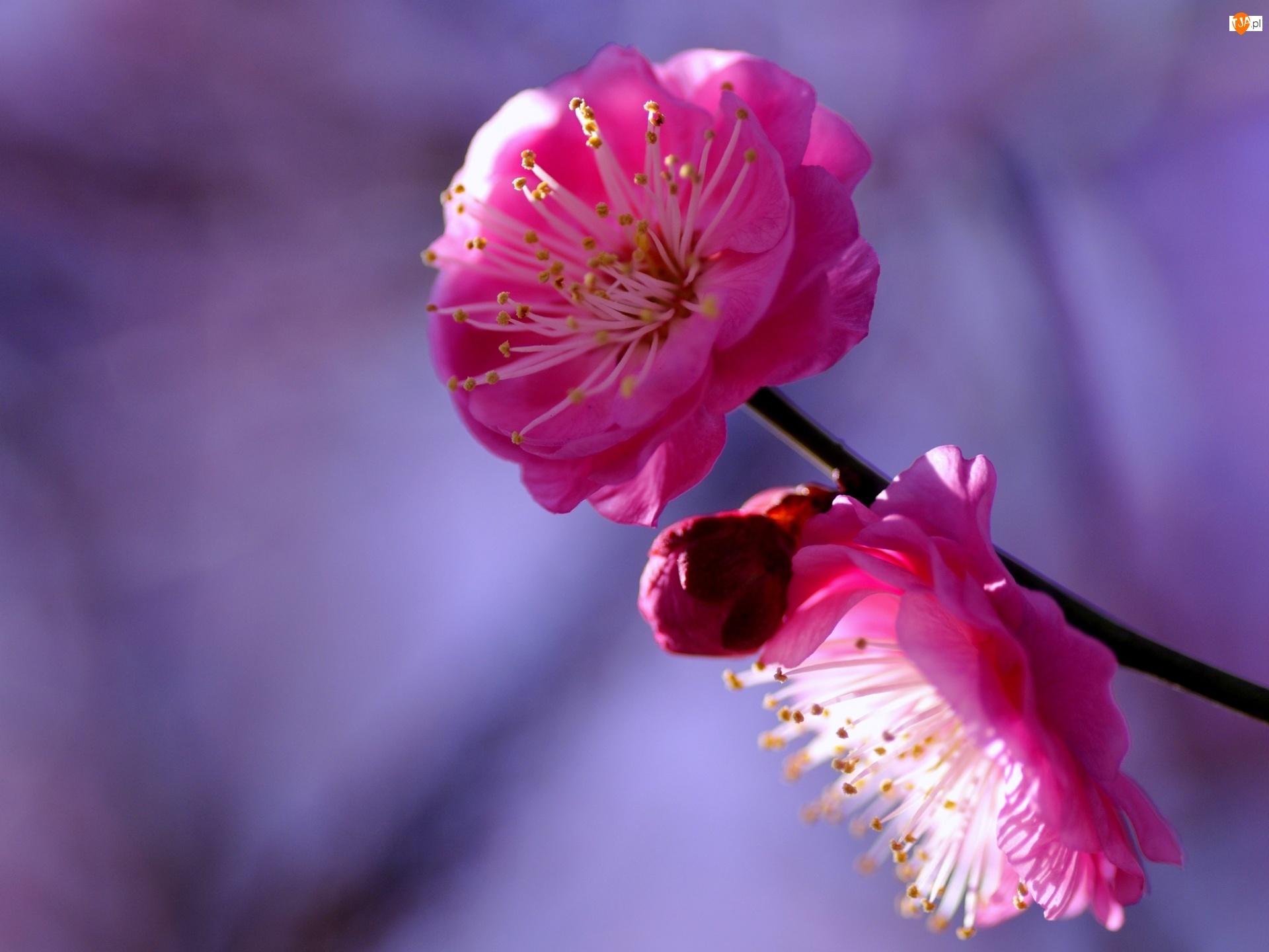 Kwiaty, Gałąź, Japońska, Kwitnąca, Wiśnia