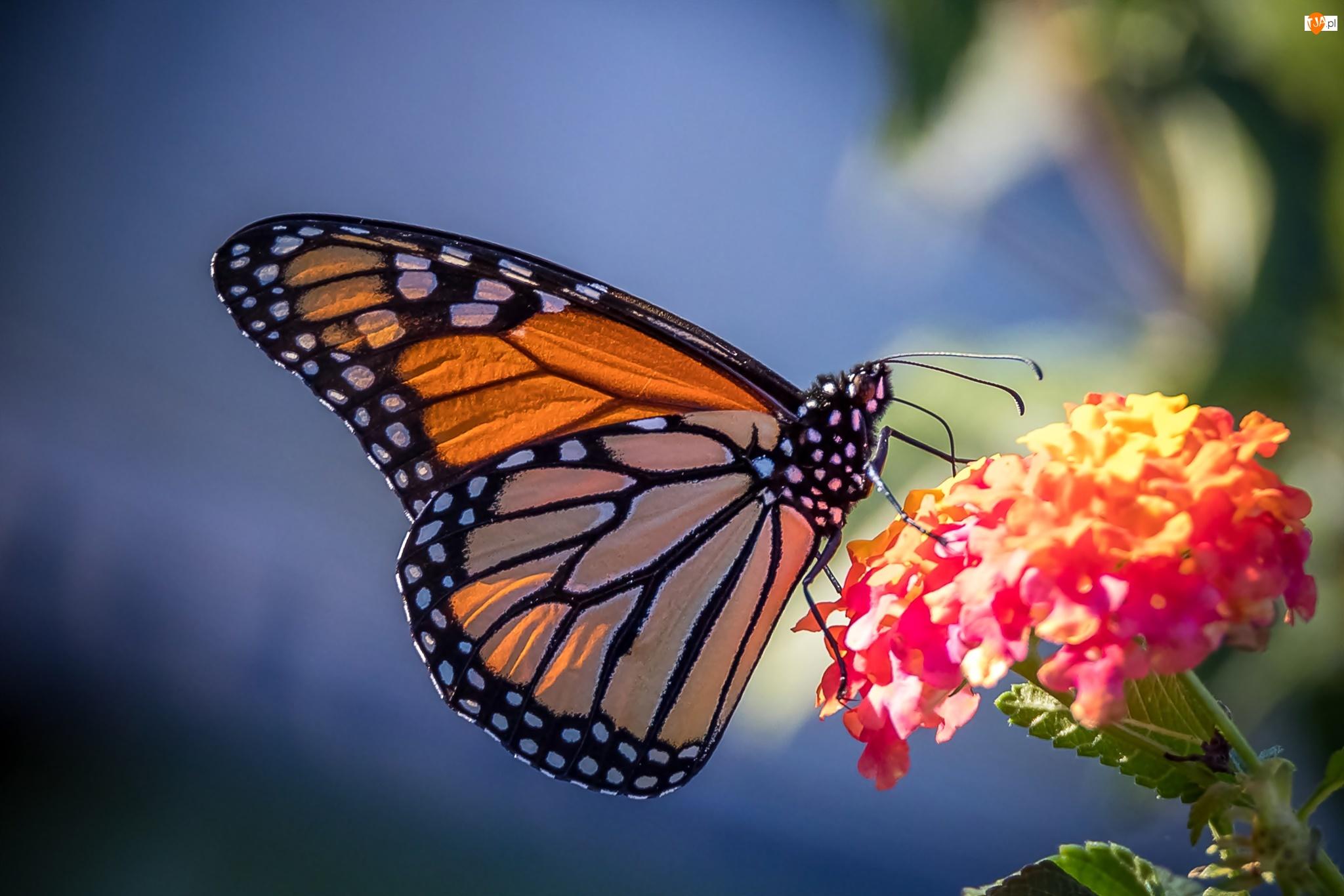 Motyl monarcha, Kwiat