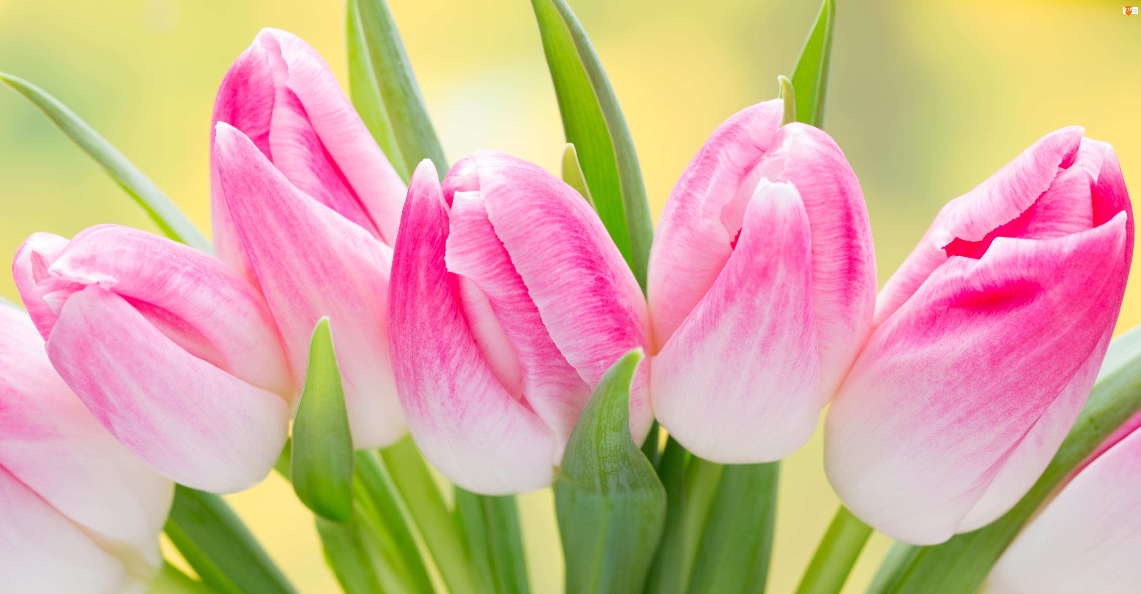 Pąki, Różowe, Tulipany