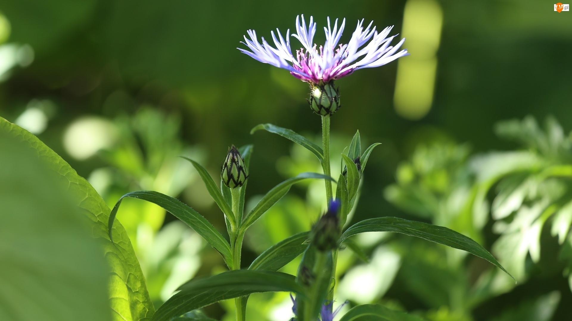 Kwiaty, Chaber