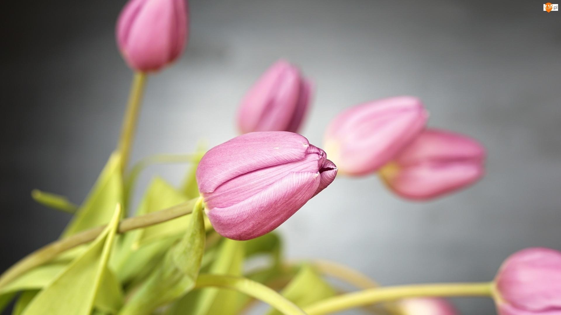 Pąki, Tulipany, Różowe