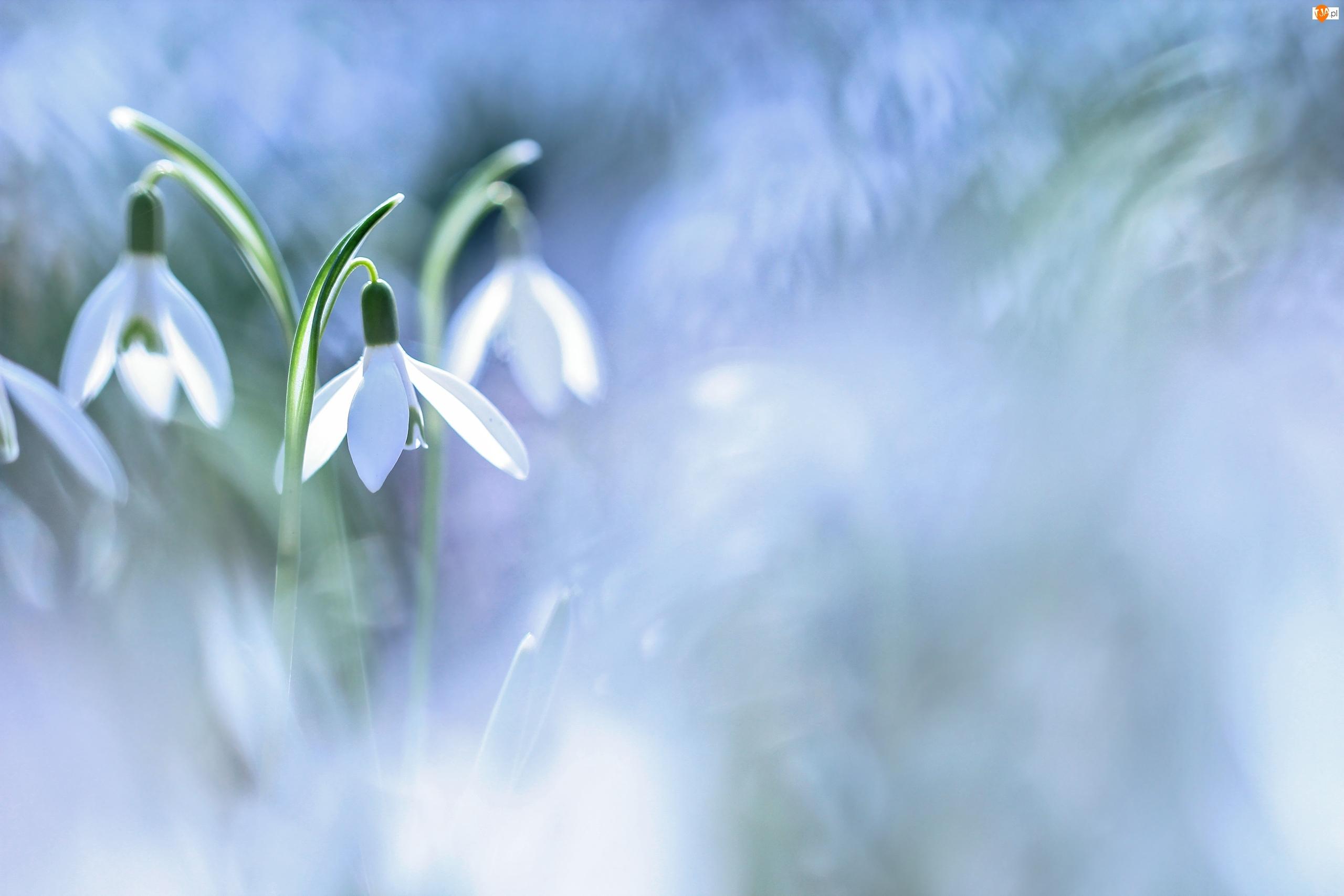 Przebiśniegi, Kwiaty