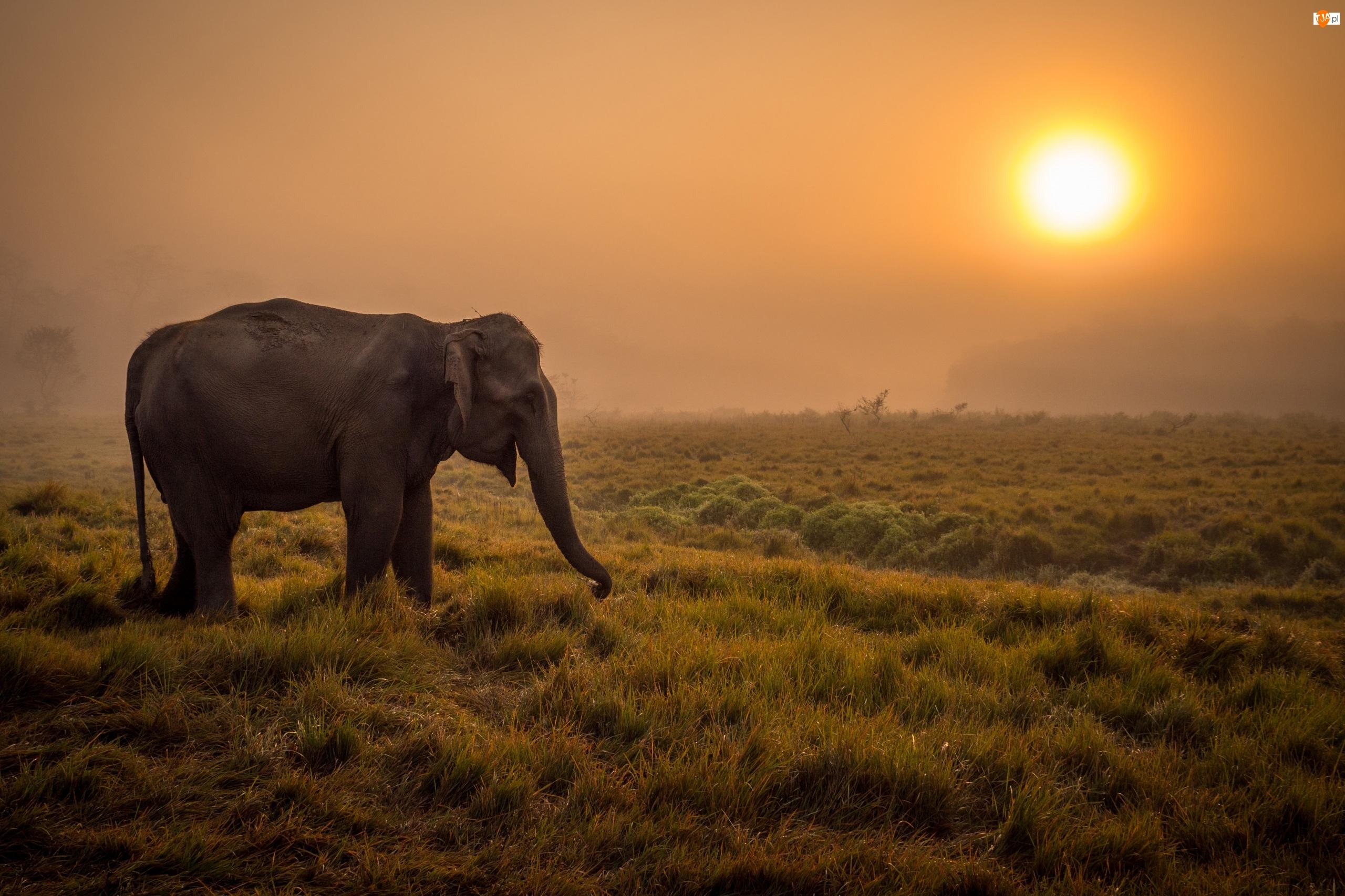 Słoń, Sawanna