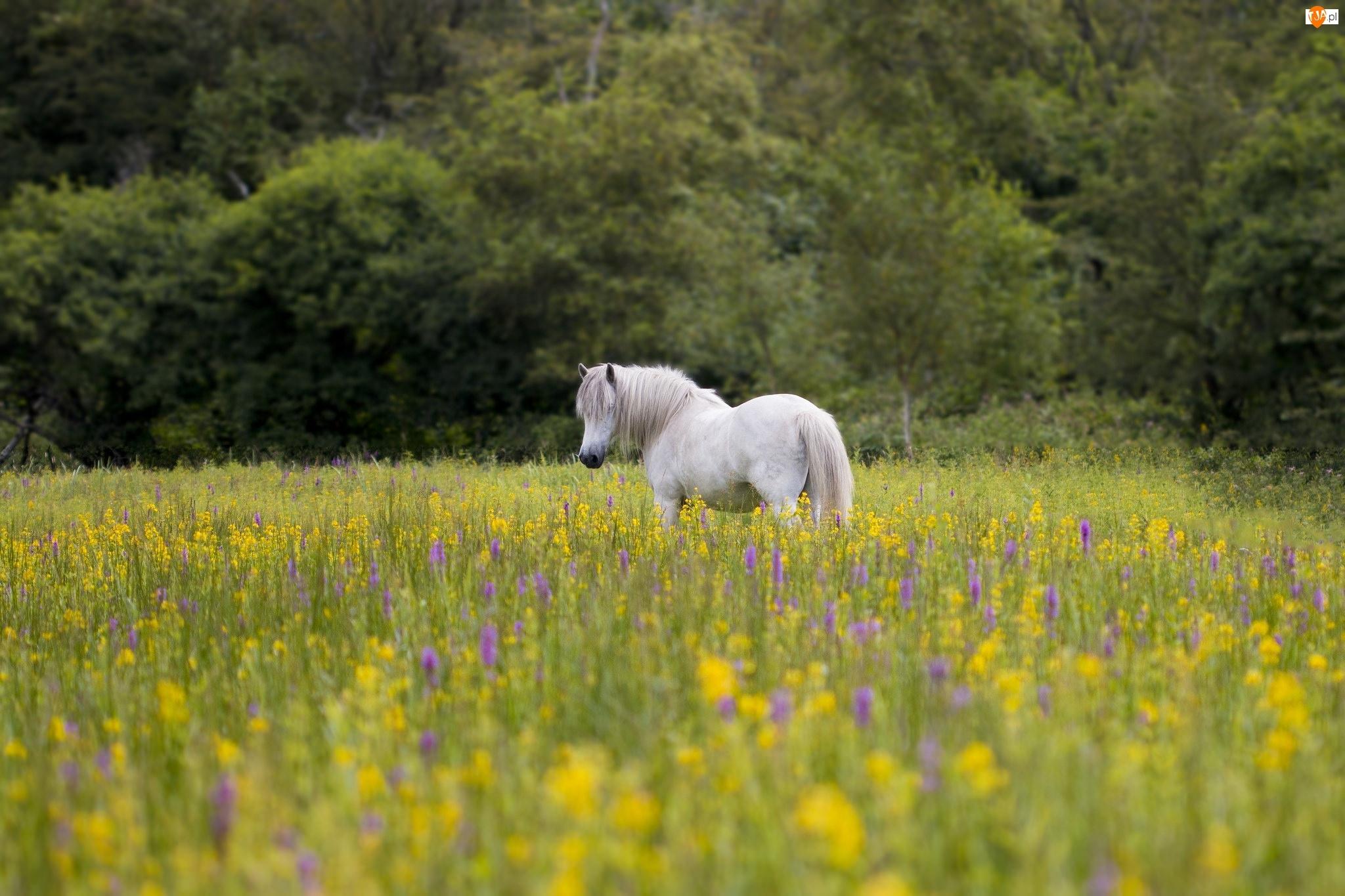 Drzewa, Kwiatki, Koń, Lato, Biały, Łąka