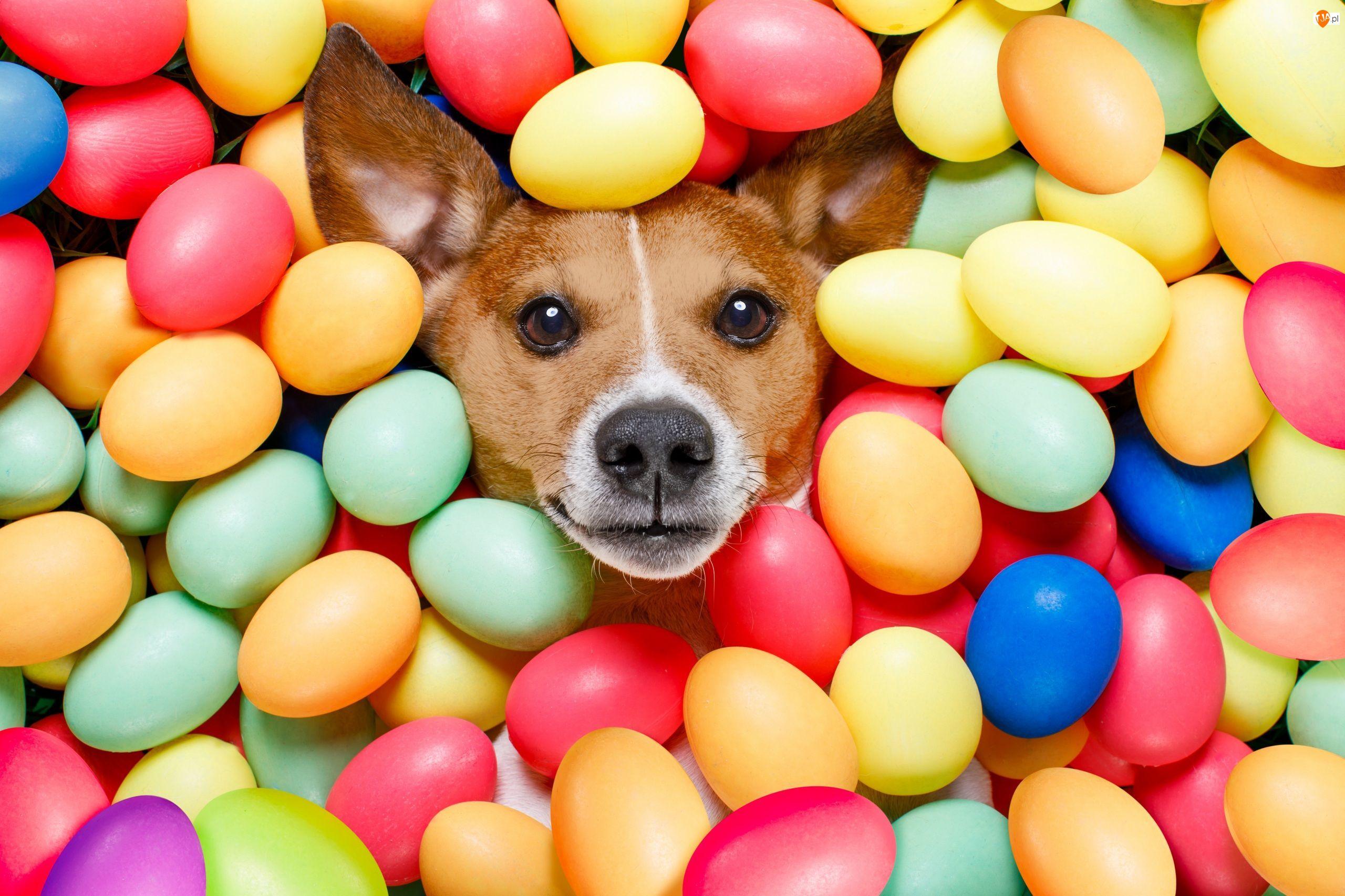 Pies, Pisanki, Jack russell terrier, Wielkanoc