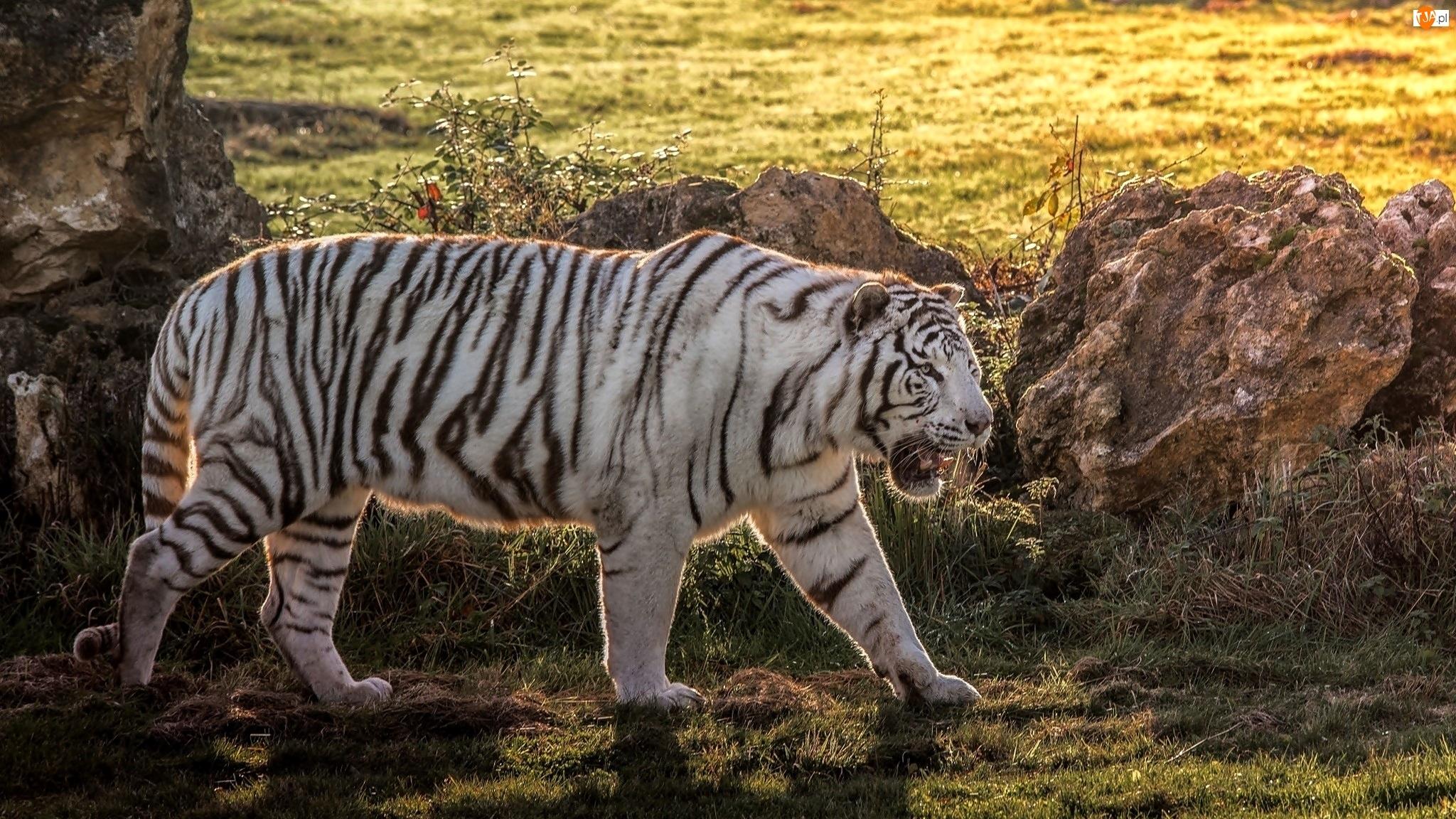 Biały, Tygrys