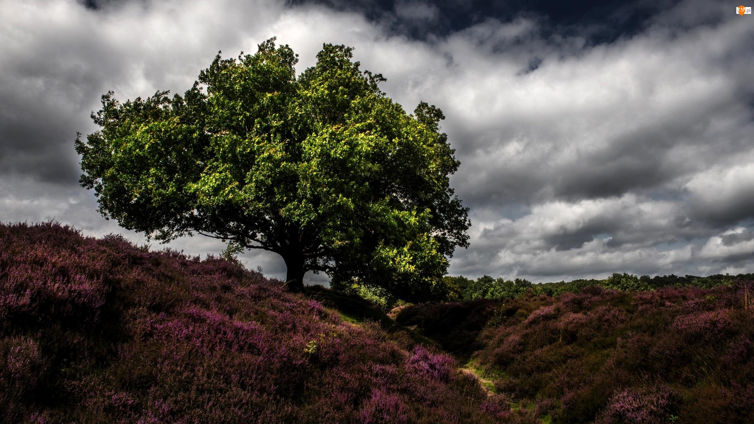Chmury, Wrzos, Drzewo, Pole