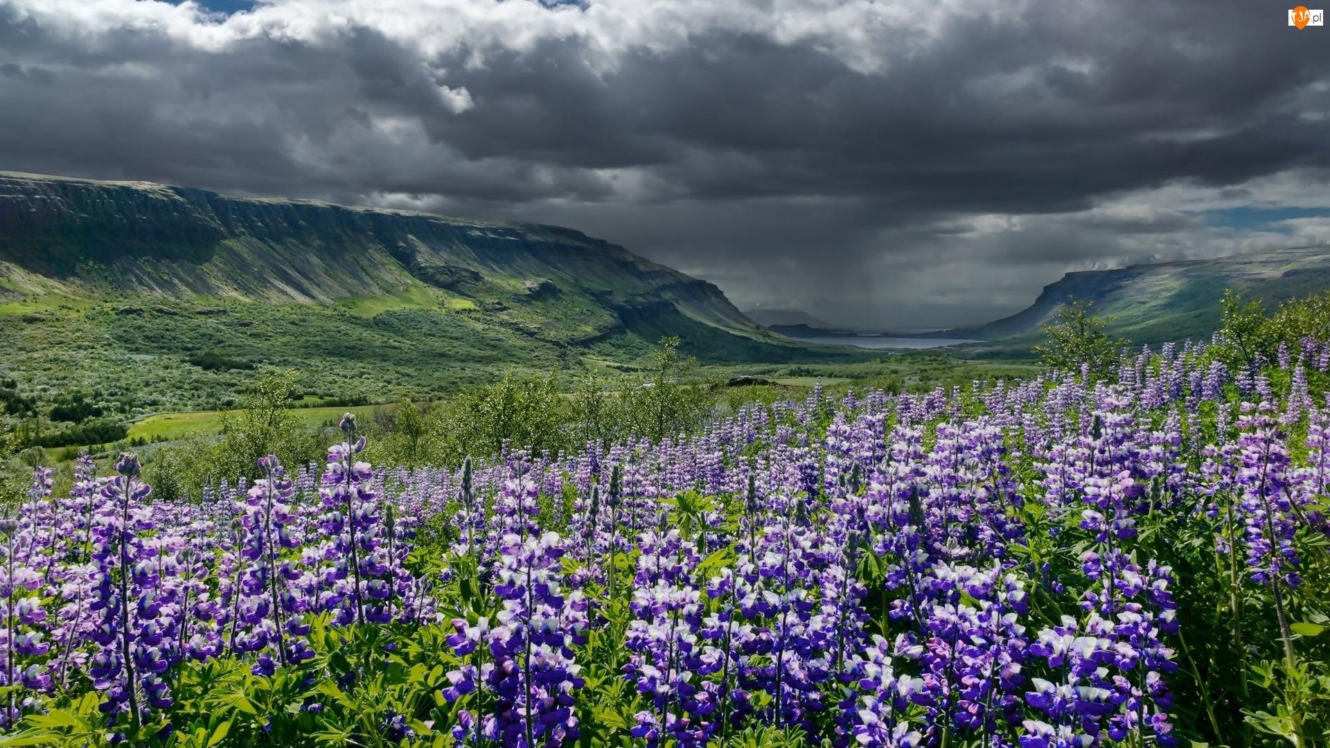 Kwiaty, Góry, Islandia, Chmury, Fioletowe, Łubin