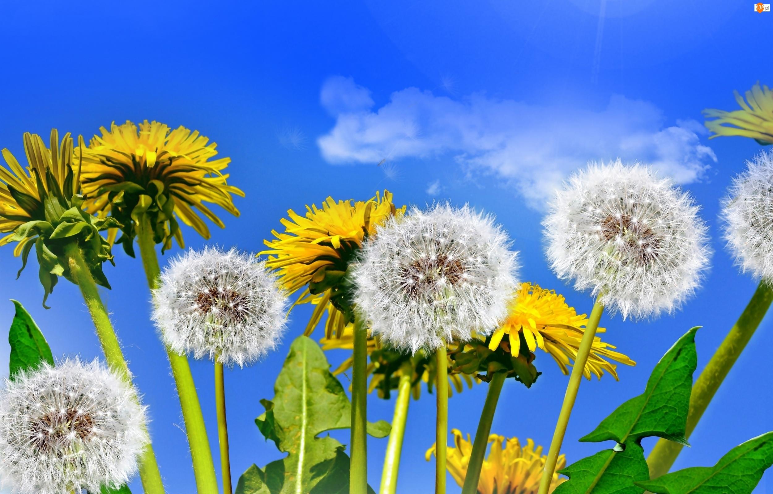 Mniszek, Niebo, Dmuchawce, Kwiaty