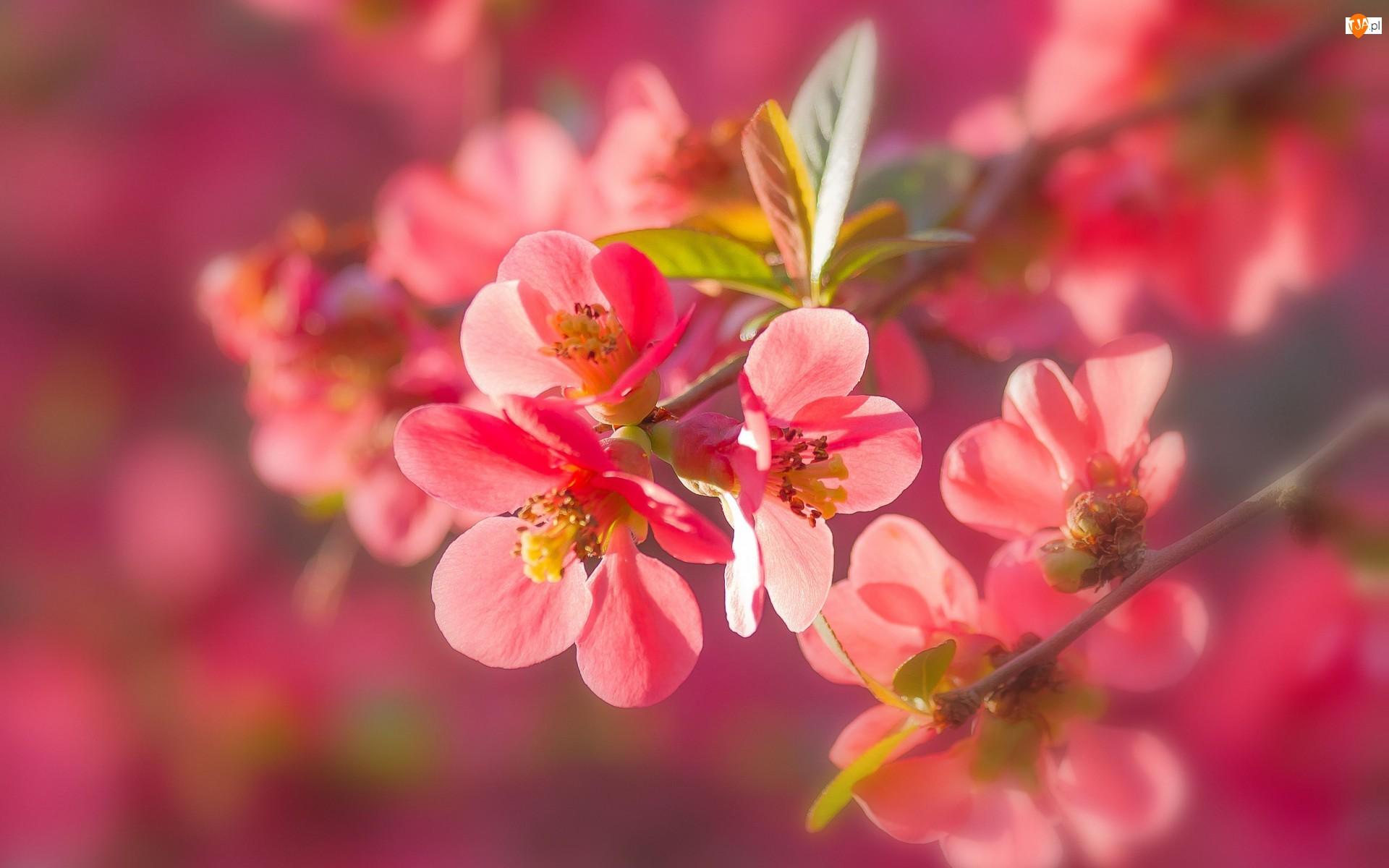 Pigwa, Gałązka, Kwiaty