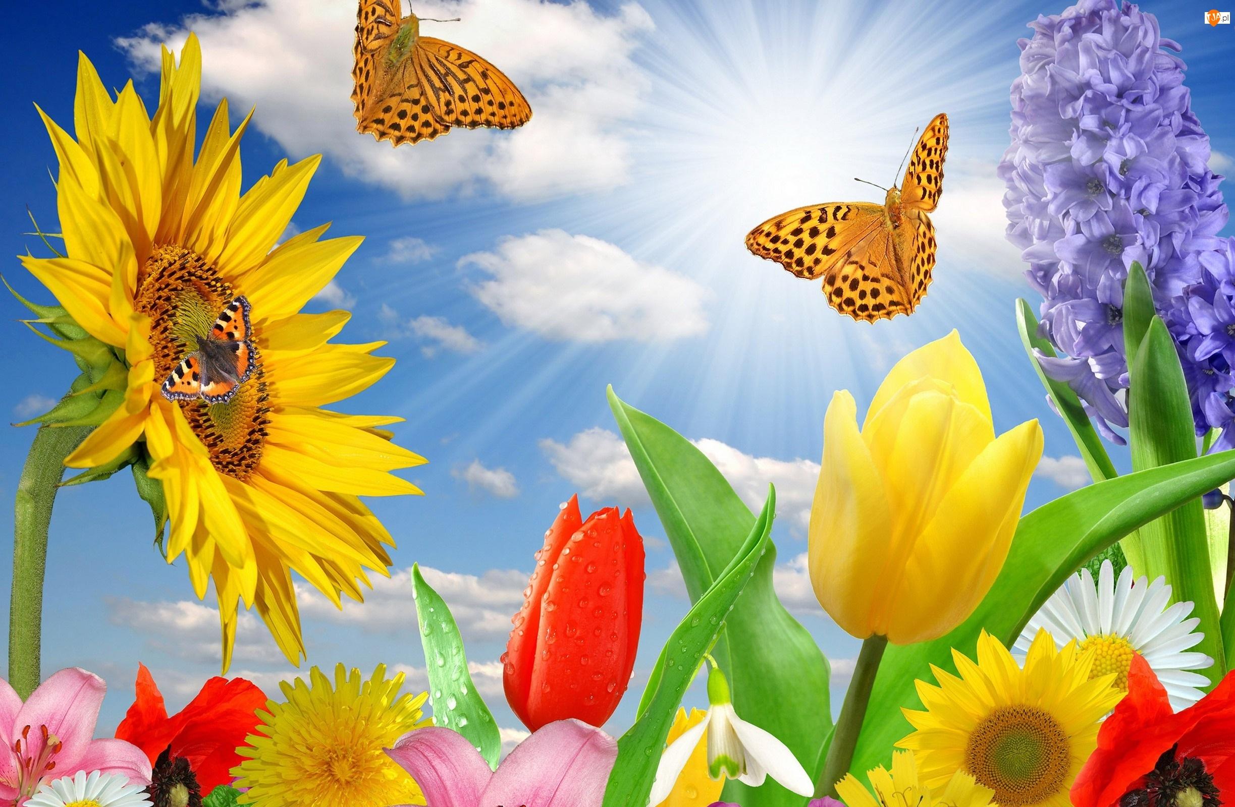 Motyle, Słoneczniki, Tulipany