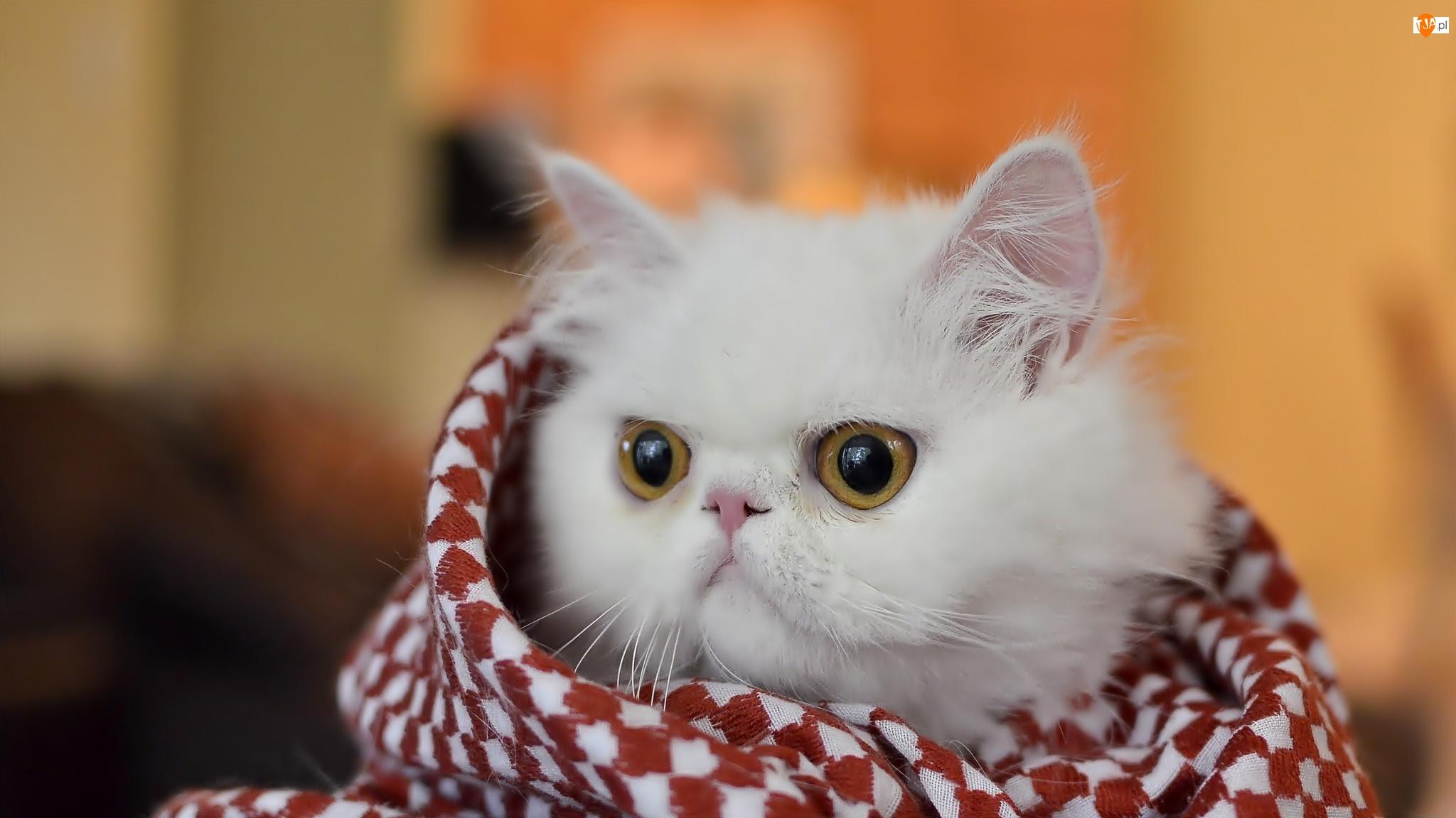 Kocyk, Biały, Kotek, Słodki, Perski