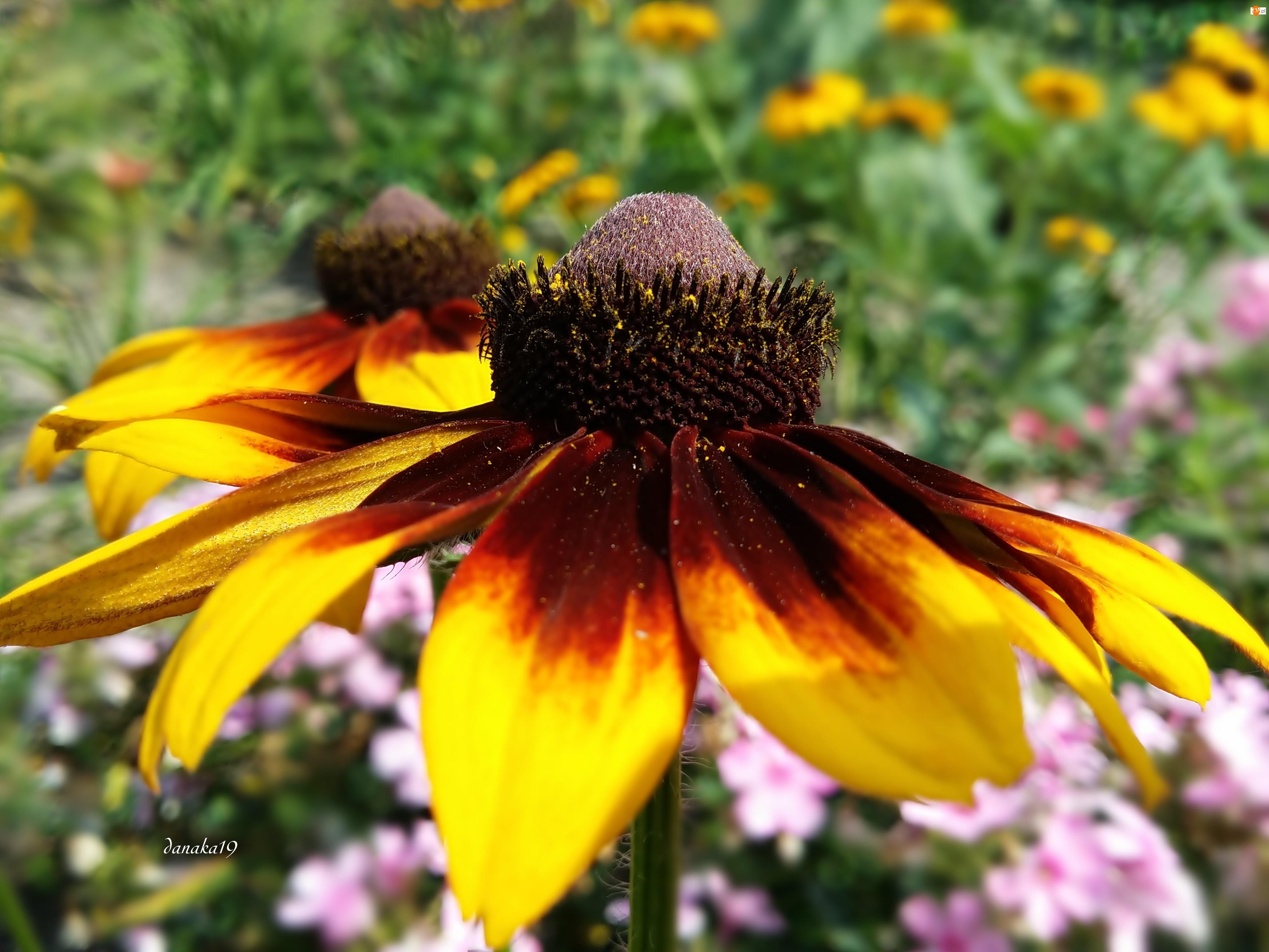 Kwiat, Rudbekia
